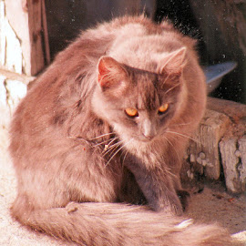 Seaside Cat by Cheryl Thomas - Typography Captioned Photos ( cat, animals, stare, brown, eyes,  )