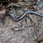 Red-backed salamander (lead phase)