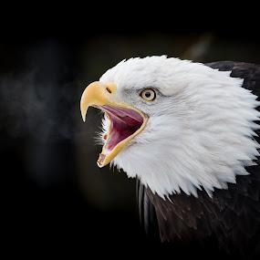 Bald Eagle #1 by John Sinclair - Animals Birds ( eagle, nature, wildlife, raptor, eagles )