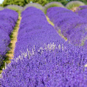 lavender fields by David Morrison - Uncategorized All Uncategorized ( lavender fields,  )