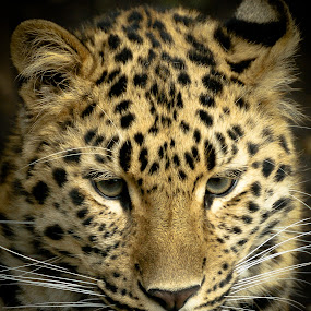 Amur Leopard by Chris Boulton - Animals Other Mammals ( big cat, face, cat, wildlife, amur, leopard, mammal, animal )