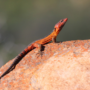 Common Crag Lizard Nooitgedacht_2142.jpg