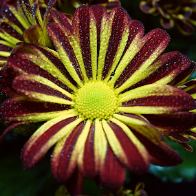 Water Drops on a Red and Yellow Chrysanthemum by Gillian James - Flowers Single Flower ( red, macro, chrysanthemum, yellow, flower )