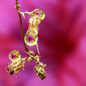 Dews by Agus  Sudarmanto - Nature Up Close Flowers - 2011-2013