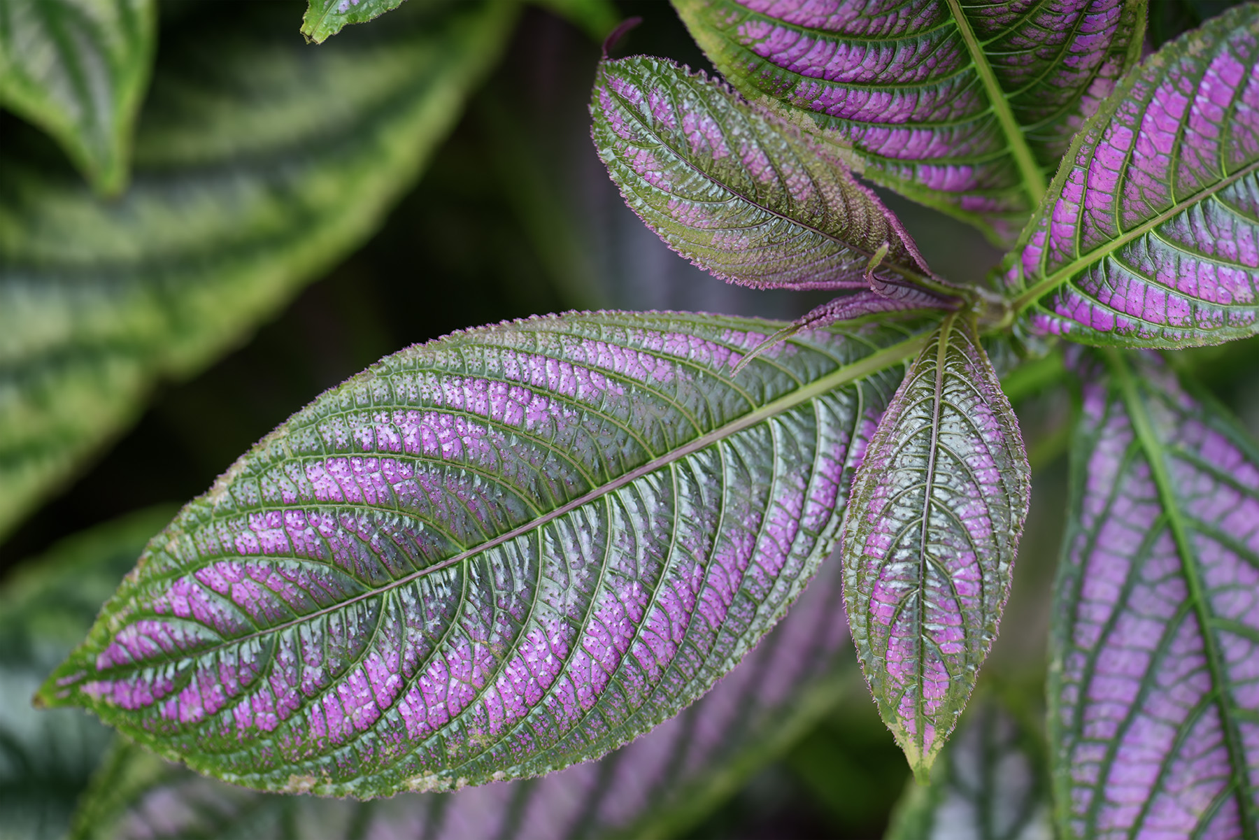 Photo: A touch of color  Why this shot? I was fascinated by the tinge of purple along the edge of the leaves, it was pretty.. and that's all :)  #flora  #nature  #japan