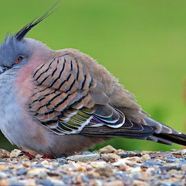 pigeon in the winter cold by Simon  Rees - Animals Birds