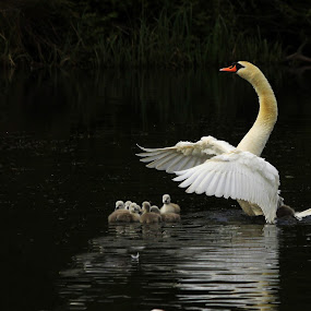 Watching over by Tony Walker - Animals Birds ( signets, fluffy, wings, swan, standing )