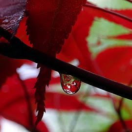 Goccia su un acero by Patrizia Emiliani - Nature Up Close Trees & Bushes ( goccia, acero,  )