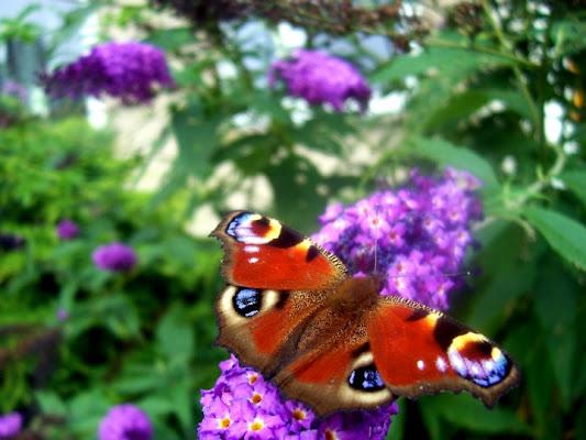 Farfalla e fiori di cicealix