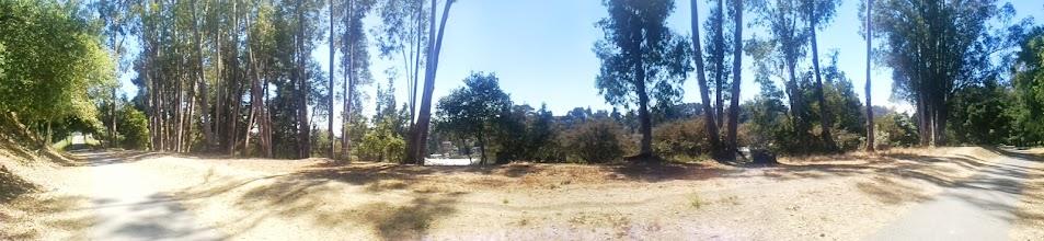 Photo: Eucalyptus side panorama.