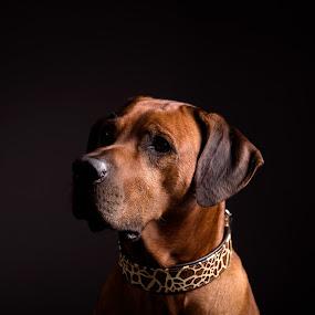 Fogo 2 by Anita Meis - Animals - Dogs Portraits ( rhodesian rigdeback, african, low key, hunting dog, dark, dog, portrait, ridge )