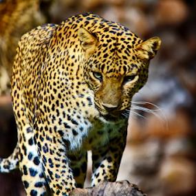 leopard  by Ashutosh Singhvi - Animals Lions, Tigers & Big Cats ( big cats, zoo, mysore, karnataka, leopard )