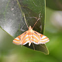 Aquatic Moth/Crambid Moth