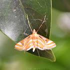 Aquatic Moth/Crambid Moth