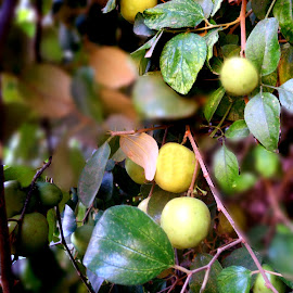 by Ghazala .S. Mujtaba - Food & Drink Fruits & Vegetables (  )