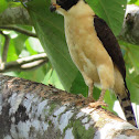 Laughing falcon or Guaco