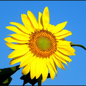 Yellow Sunflower by Patti Westberry - Nature Up Close Flowers - 2011-2013 ( sunflower,  )