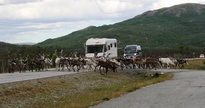 Photo: Altan ja Nordkappin välillä poroja oli välillä laumoiksi asti - pysähdyimme sopivasti kohdalle osuneelle taukopaikalle odottamaan tilaa tiellä!