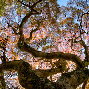 Winterthur Tree by Jim Salvas - Landscapes Forests ( sky, red, leaves, tree, maple, branches )
