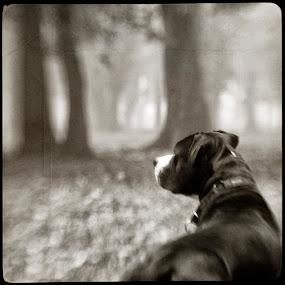 Fog III by Sasa Lazic - Animals - Dogs Portraits ( canon, stafford, fog, art, bw, square, lensbaby, road, dog )