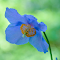 Blue Poppy 1.jpg