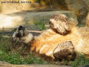 Photo: Knut raekelt sich wohlig in der Sonne :-)