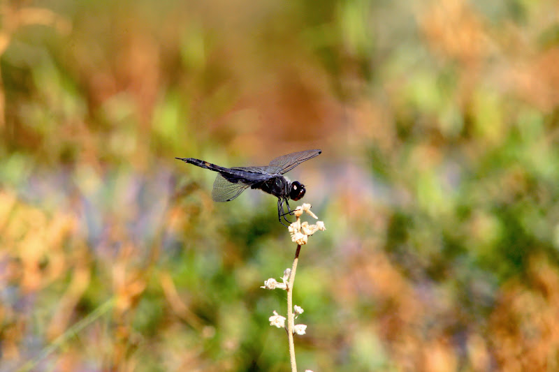 Photo: Odonata a Day 126/365  A much wider crop on a black saddlebags dragonfly (Tramea lacerata), the same species as yesterday. Not as exciting on the dragonfly, but I did like the background.  #BokehTuesday (+Bokeh Tuesday +Bob Baxley) #OdonataPoker (+viviane godenne) #OdeADay (+Kimberly Hosey)