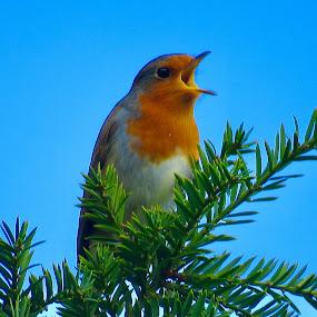 European Robin  by Nick Swan - Animals Birds ( bird, robin, nature, singing, wildlife )