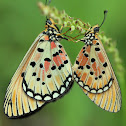 Brush-footed Butterflies