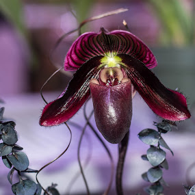 Dramatic Orchid by Sally Shoemaker - Flowers Single Flower
