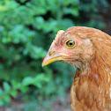 red star chicken