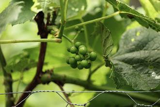 Photo: Grapes