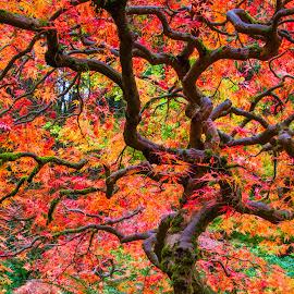 Burning Bush by Richard Duerksen - Nature Up Close Trees & Bushes ( scarlet leaves, oregon, portland, autumn leaves, japanese gardens, burning bush,  )