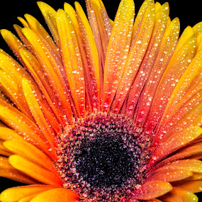 Happy Daisy by Heather Campbell - Flowers Single Flower ( water drops, macro, orange flower, nature, orange daisy, gerbera daisy, daisy, close up, bright colors, flower,  )
