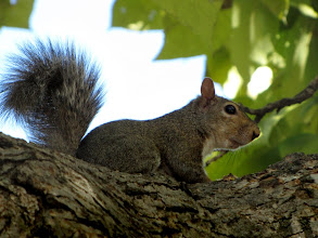 Photo: Our native fox squirrel (Sciurus niger) is the largest tree squirrel in North America