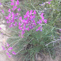 American or Purple Vetch