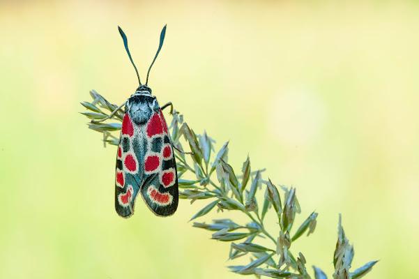 Lepidottero di Peter_Sossi