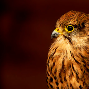 by Russell Mander - Animals Birds ( kestrel, bird of prey, falco tinnunculus, wind hover, colourful )