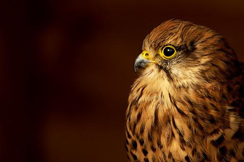 by Russell Mander - Animals Birds ( kestrel, bird of prey, falco tinnunculus, wind hover, colourful )