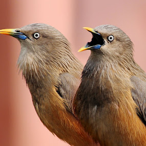 The nagging partner by Mrinmoy Ghosh - Animals Birds (  )