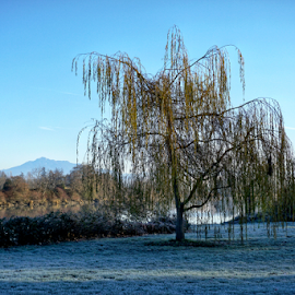 Weeping Willow  by Todd Reynolds - Nature Up Close Trees & Bushes