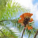 Wiliwili tree flowers