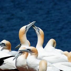 Les fous de Bassan by Christiane Ouellet - Animals Birds