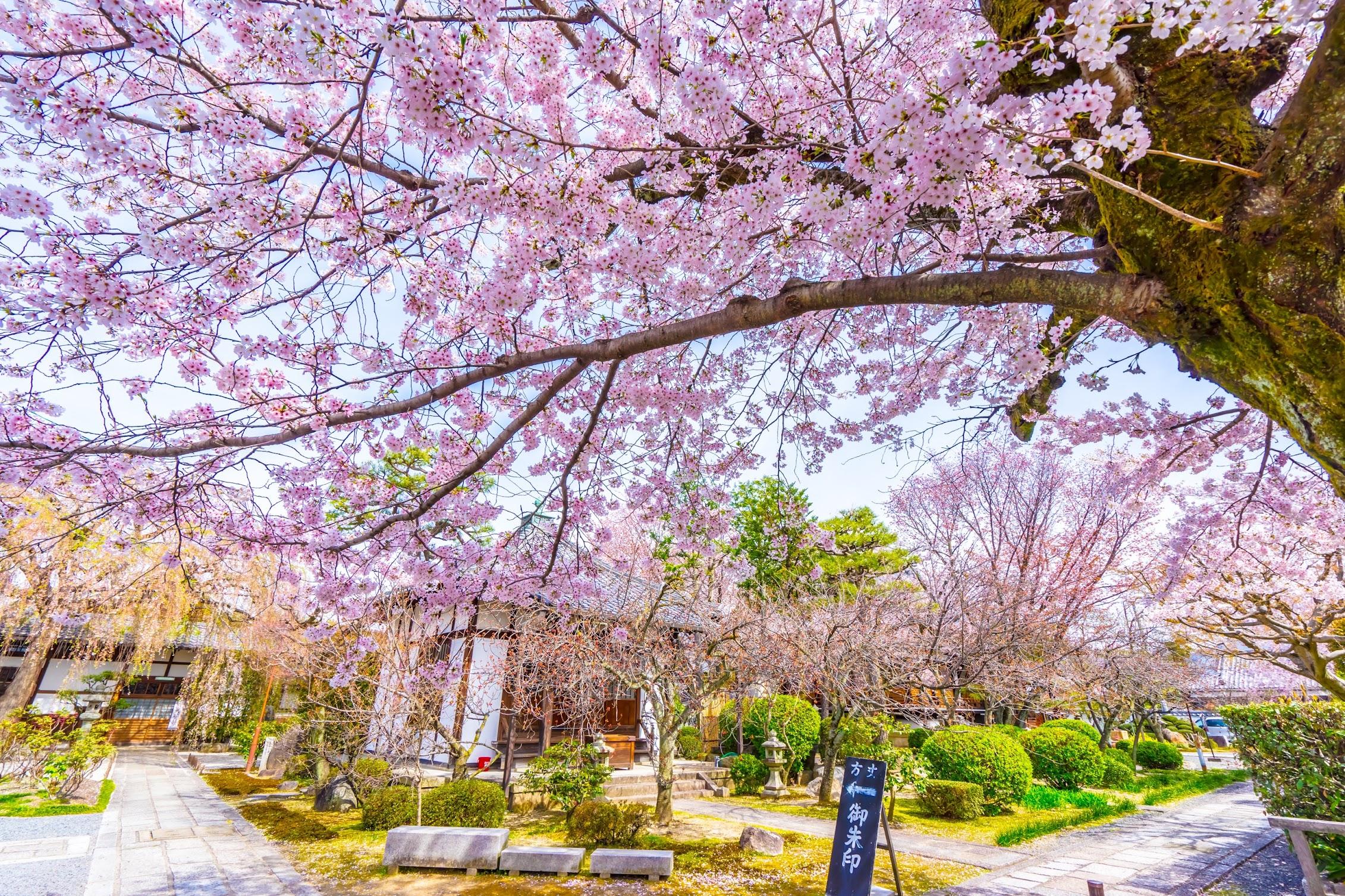 京都 本満寺 桜1