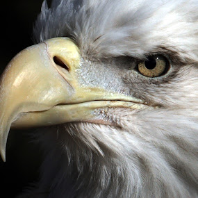 Bald Eagle portrait by Bruce Arnold - Animals Birds (  )