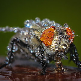 Fly with Drops by Gaurav Madhopuri - Novices Only Macro ( canon, macro, insect, tamron, photography )