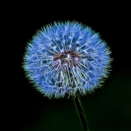 Stylized Dandelion Seeds by Dave Lipchen - Nature Up Close Other plants ( dandelion )