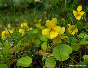 Photo: More Yellow Violets