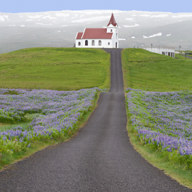 Church and Lupines by Phyllis Plotkin - Landscapes Prairies, Meadows & Fields ( iceland, lupines, church, green, fields )