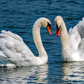 by Ioannis Alexander - Animals Birds ( swan,  )